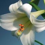 Лилии Длинноцветковые гибриды
