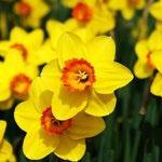 Тацетовидные, или многоцветковые