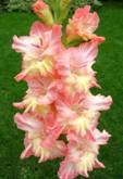 Розовый мираж 511-99-С-СТ, Киктев