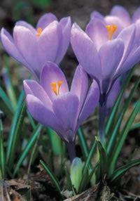 Ремембранс крупноцветковый