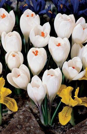 Жанна Дарк крупноцветковый