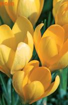 Йеллоу Маммонт крупноцветковый