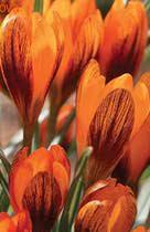 НОВИНКА! Оранж Монарх крупноцветковый