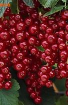 Смородина красная Ровада