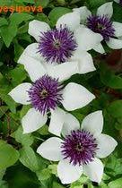ФЛОРИДА группы цветистый Зибольда