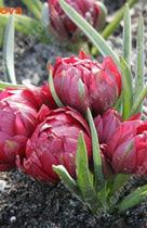 Тюльпан Хумилис Тет-а-Тет ботанический