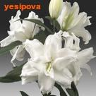 Лилия Roselily® Рамона восточная махровая